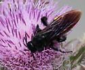 SCREECH - Pygodasis quadrimaculata