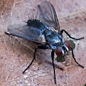 tachinid fly - Thelaira