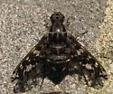 Beefly - Xenox tigrinus