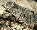 moth - Acossus undosus