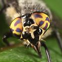 deer fly - Chrysops ater - female