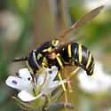 Syrphid fly on tundra  - Chrysotoxum
