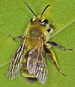 Striped Bumble Bee - Andrena hirticincta - female