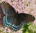 Red-Spotted Purple (Limenitis arthemis astyanax) - Limenitis arthemis