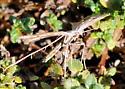 Morning Glory Plume Moth? - Emmelina monodactyla