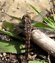 Dragonfly at Lake Cheston - Ladona deplanata