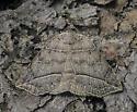Isogona tenuis