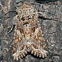 Unknowm Moth - Spodoptera praefica
