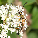 Flower Longhorn - Strangalia famelica - male
