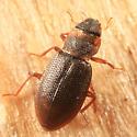 Minute Moss Beetle - Hydraena pennsylvanica