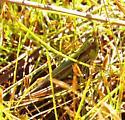 Spotted-winged grasshopper - Orphulella pelidna