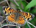 A crescent of some kind? - Phyciodes tharos - female
