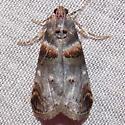 5588 Orange-tufted Oneida - Oneida lunulalis