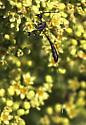 Wasp with long tail, forked at the end - Gasteruption - female