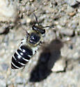 Colletes mining bee, but any idea what species? - Colletes