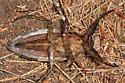 Lethocerus americanus? - Lethocerus americanus