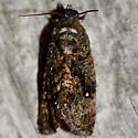 Gymnandrosoma punctidiscanum  - Gymnandrosoma punctidiscanum