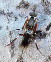 insect - Metapelma spectabile - female