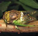 Swamp Cicada - Neotibicen tibicen