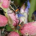 mirids - Hadronema militare - male - female