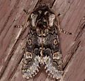 moth - Psaphida thaxterianus - male