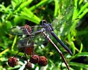 Dragonfly - Slaty Skimmer - Libellula incesta