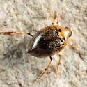Crawling Water Beetle - Peltodytes muticus