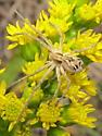 unknown spider - Rhysodromus histrio
