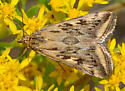 tan owlet? moth - Loxostege cereralis