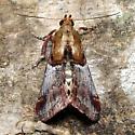 Yellow-based Cacozelia - Hodges #5580 - Cacozelia basiochrealis