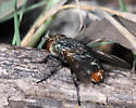 Fly with red tip on abdomen - Peleteria