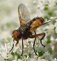 Small tachinid - Euclytia flava