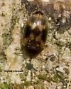 Tiny Underbark Beetle - Litargus balteatus