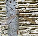 Unknown crane fly - Tipula - female