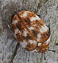 tiny brown beetle - Anthrenus verbasci