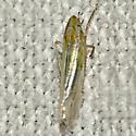 Leafhopper - Dikraneura