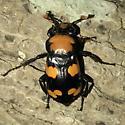 Nicrophorus americanus - male