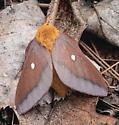 Anisota virginiensis - female