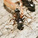 Small ant with moth antenna - Lasius alienus