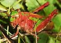 Green and Red Grasshopper - Chimarocephala pacifica - female