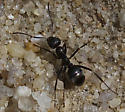 Carpenter Ant? - Formica