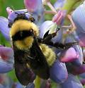 Queen Bumblebee - Bombus fervidus - female