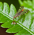 Scorpion Fly - Panorpa