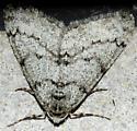 Phigalia - Phigalia denticulata - male