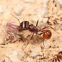 Harvester ant - Pogonomyrmex rugosus - female