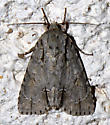 possible - Acronicta thoracica