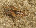 Which cricket please.. - Ceuthophilus maculatus - male