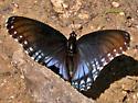 Black Butterfly in West Fork of Oak Creek Canyon - Limenitis arthemis