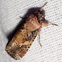 Fall Armyworm Moth - Hodges #9666 - Spodoptera frugiperda - male