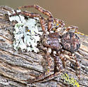 Unknown Small Spider - Bassaniana utahensis